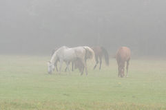 Horses in the mist. Royalty Free Stock Images