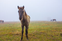 Horses in the mist Stock Images
