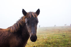 Horses in the mist Royalty Free Stock Photos