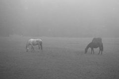 Horses in mist Stock Photography