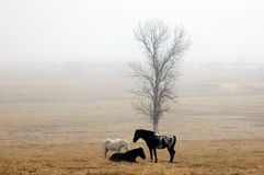 Horses in a misty field. Image of 3 horses standing near a tree in a misty field during cold winter morning Stock Photography