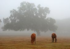 Horses in misty field. Two brown horses grazing in a field filled with mist Stock Photography