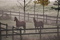 Horses in a Misty Meadow Stock Photos