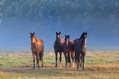 Horses on misty pasture Royalty Free Stock Images