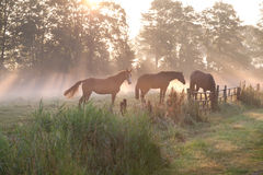 Horses in misty sunbeams. On pasture Royalty Free Stock Photography