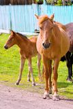 Horse and foal. Horses - the only modern genus of the family of equine groups of ungulates Stock Photography