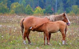 A horse with a foal. Horses - the only modern genus of the family of equine groups of ungulates Royalty Free Stock Photo