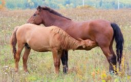 A horse with a foal. Horses - the only modern genus of the family of equine groups of ungulates Royalty Free Stock Photography
