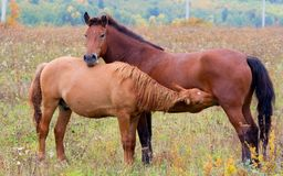 A horse with a foal. Horses - the only modern genus of the family of equine groups of ungulates Stock Images