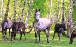 Leader on guard. Horses - the only modern genus of the family of equine groups of ungulates Royalty Free Stock Image