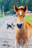Portrait of a foal. Horses - the only modern genus of the family of equine groups of ungulates Royalty Free Stock Image