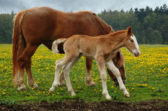 Horses, mom with three days foal. Czech republic landscape with horses, mom and three days foal Stock Image