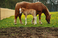 Horses, mom with three days foal. Czech republic landscape with horses, mom and three days foal Stock Photo