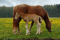 Horses, mom with three days foal Stock Images