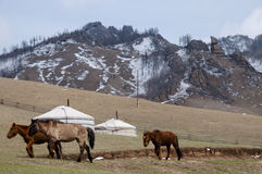 Horses - Mongolia. Horses in a small nomad ger camp Stock Images