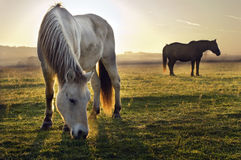 Horses in morning fog. Horses out at grass in morning fog Stock Photo