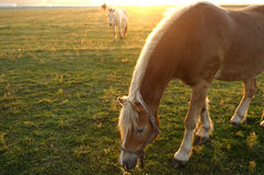 Horses and morning fog. Horses and early morning sunrise stock photos