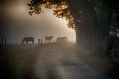 Horses in morning mist. Horses on a meadow an early and misty morning royalty free stock image