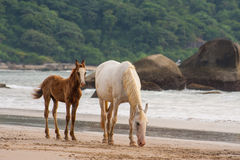 Horses mother and foal walking on the Beach in Goa India Stock Photos