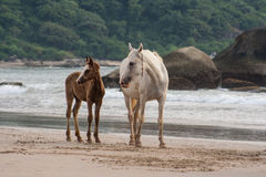 Horses mother and foal walking on the Beach in Goa India Royalty Free Stock Images