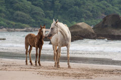 Horses mother and foal walking on the Beach in Goa India Stock Images