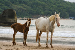 Horses mother and foal walking on the Beach in Goa India Royalty Free Stock Photos