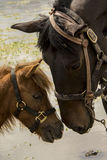 Horse. Mother and son horses loving capture Royalty Free Stock Photography