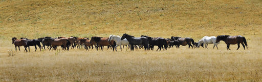 Horses from the mountain Stock Photography