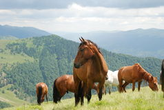 Horses on mountain Royalty Free Stock Images