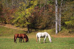 Horses in Mountain Fields Royalty Free Stock Image