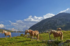 Mountain horses Stock Image
