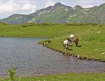 Horses on mountain lake shore Stock Images