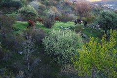 Horses on a mountain meadow. Herd of horses grazing on a mountain spring meadow royalty free stock photography
