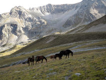 The horses in the mountain meadow. Horses mountain meadow pasture grass grazing highlands evening Caucasus calm Stock Image