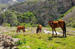 Horses and mountain river Royalty Free Stock Photography