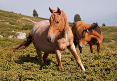 Horses in the mountains. Two brown horses in the mountains, one is looking at camera Royalty Free Stock Photos