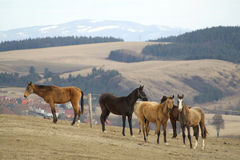 Horses in mountains. Herd of horses living in mountains Royalty Free Stock Image