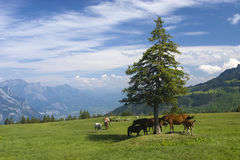 Horses in the mountains Royalty Free Stock Photo