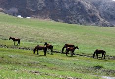 Horses in mountains. Mountain meadow and horses in spring. Uzbekistan, March 2008 Royalty Free Stock Image