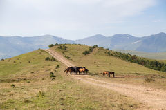 Horses in the mountains. Grazing horses on a mountain path, Caucasus, Russia Stock Images