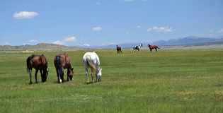 Horses of the Mountains. Horses Grazing the Plains in the Rocky Mountains stock photos