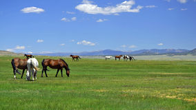 Horses of the Mountains. Horses Grazing the Plains in the Rocky Mountains stock image