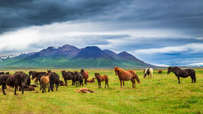 Horses in the mountains, Iceland Stock Images