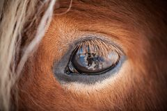 Horses in the mountains in Iceland. Close-up Stock Images