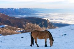Horses in the mountains are looking for food under the snow. Horses in the mountains are looking for food under the snow in Crimea Royalty Free Stock Photography