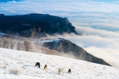Horses in the mountains are looking for food under the snow. Horses in the mountains are looking for food under the snow in Crimea Stock Image