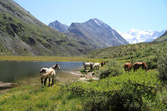 Horses in mountains Stock Image