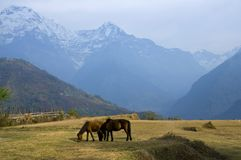 Horses and mountains.Trekking to Annapurna Base Camp. Horses and mountains. Trekking to Annapurna Base Camp, Nepal stock photography