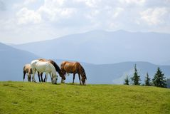 Horses in mountains. The horses in Ukrainian Carpathians Stock Photography
