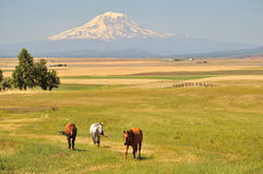 Horses and Mt. Adams Royalty Free Stock Image